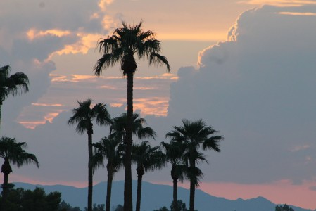 Arizona Palm Trees taken during the hour of the setting sun.